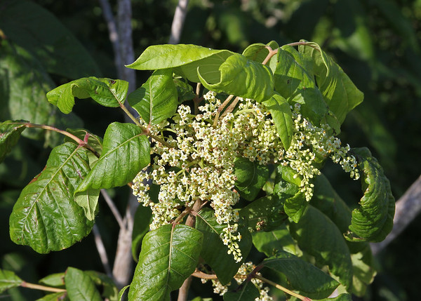 Toxicodendron radicans - Poison Ivy