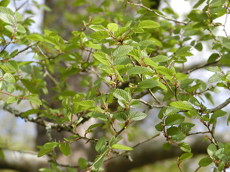 Ulmus crassifolia - Cedar Elm