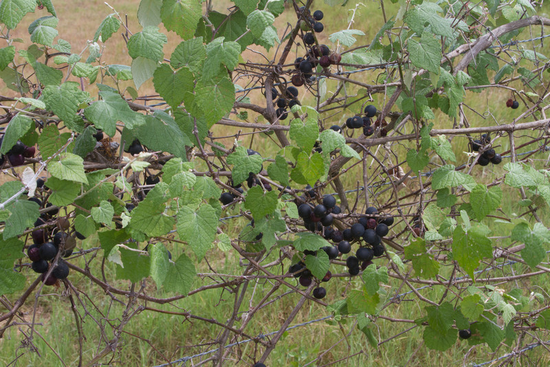 Vitis mustangensis - Mustang Grape