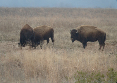 American Bison:  Young bulls sparing.  Note the totally flattened and torn up vegetation around the area where they are fighting.