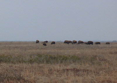 """American Bison are """"used"""" on the reserve to maintain habitat and provide cleared areas for Attwaters chicks to use. Their grazing shapes the grassland into clumps with spaces between them that serve as pathways for young chicks"""