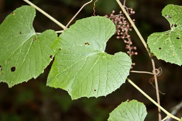 Vitis cinerea - Sweet Winter Grape