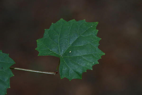 Vitis rotundifolia - Muscadine Grape