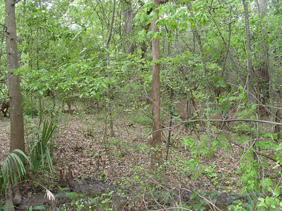 Edith L Moore Nature Sanctuary:  Sabal minor, Taxodium and standing water, just great for migrating thrushes in the spring.  Find a place to sit near to one of these pools of standing water and watch the migrants come to drink and bathe.