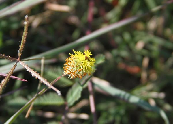 Neptunia pubescens - Tropical Nepuntia