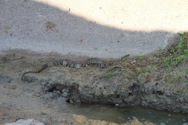 Diamondbacked Watersnake (Nerodia rhombifer)