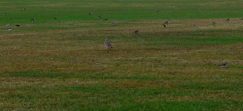 Long-billed Curlew, Am Golden Plover, Killdeer