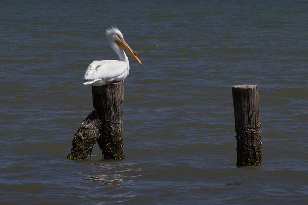 Texas City Dyke - UTC 074 0- White Pelican at rest