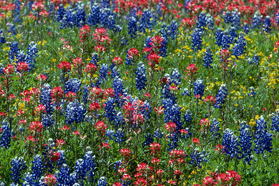 Texas Blue Bonnets and Indian Paint Brush, near Buchanan Dam, west of Austin, TX