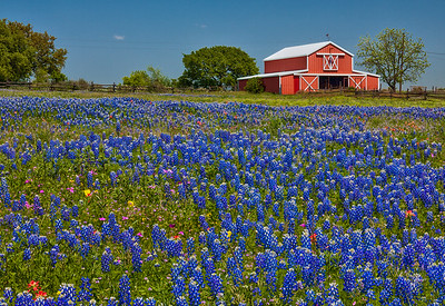 Barn and Bluebonnet Field