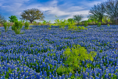 Bluebonnets in Central Texas