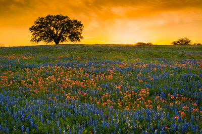 Sunset, Wildflowers, and the Big Tree