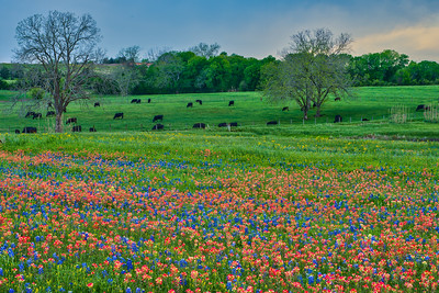 Cattle and Flowers