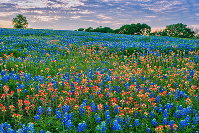 Bluebonnets and Paintbrush at Sunset
