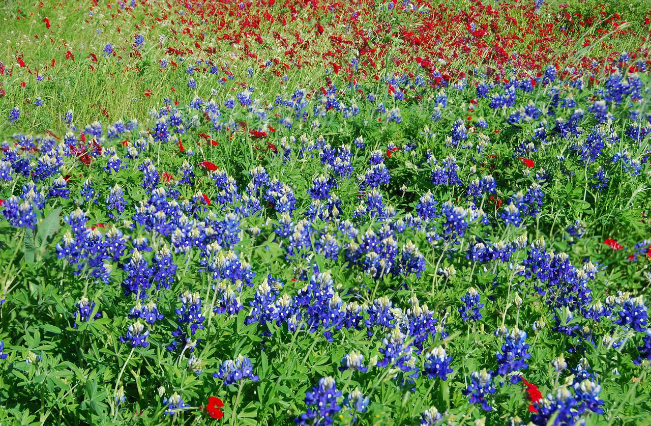 Texas wildflowers 2010 photo 1