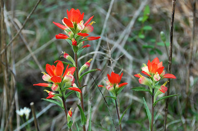 Texas paintbrush (Castilleja indivisa)