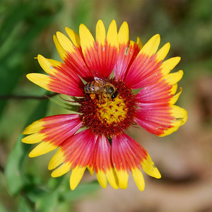 Indian blanket (Gaillardia pulchella)