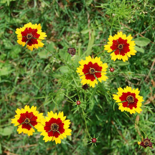 Plains coreopsis (Coreopsis tinctoria)
