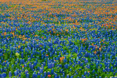 Dense Field of Bluebonnets and Paintbrush