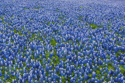 Texas Bluebonnet Field