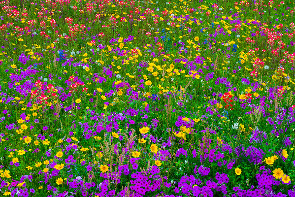 Mixed wildflowers with Phlox