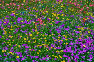 Purple and Yellow Wildflower Mix