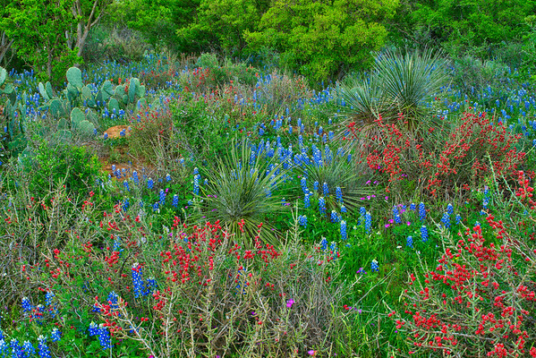 Bluebonnets and Cactii