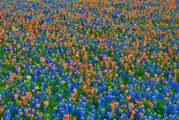 Texas Wildflowers in Afternoon Light