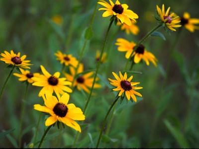 Black-eyed Susans in Washington County, TX  These flowers are also called Brown-eyed Susans.