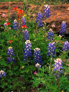 Texas Bluebonnets and Paintbrush in rock....Fredericksburg, TX