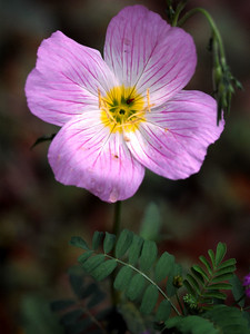 Pink Evening Primrose commonly called Buttercup
