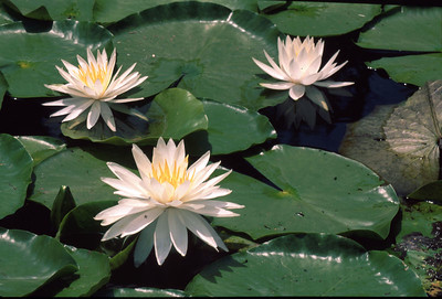 Fragrant Water-Lilly