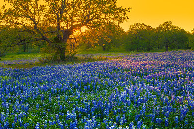 HIll Country Bluebonnet Sunset