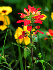 Paintbrush with Coreopsis