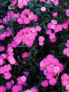 unk pink flowers