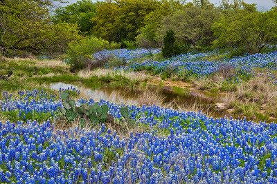 Creek and Bluebonnets Late in the Day