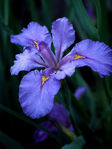 Southern Iris  I found these flowers in a small pond.  I was without a tripod and had to hand-hold the camera and macro lens to take this photo.