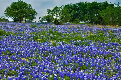 Bluebonnet Pasture