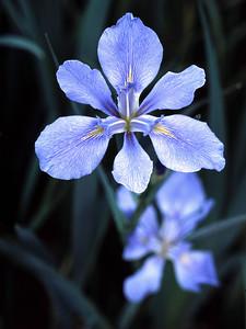 Southern Iris