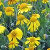 Close-up, Huisache daisies (Amblyolepis setigera)