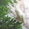 An ear of Hairy tridens (Erioneuron pilom), a Prairie grass, in front of fresh growth of female Ash juniper (Juniperus ashei)