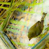 Bathing Beauty<br /> female Painted Bunting, Passerina ciris, Linnaeus 1758