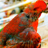 Color Study - red 3<br /> Mantilla<br /> Northern Cardinal, male - Cardinalis cardinalis, Linnaeus 1758