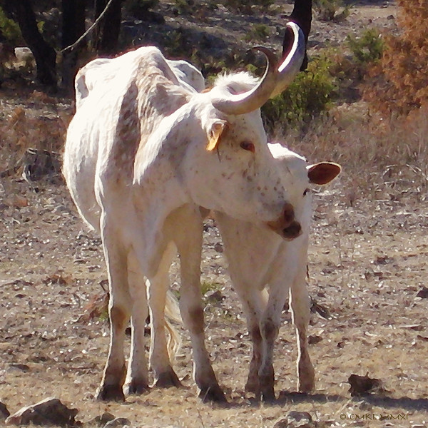 Semi-domesticated Texas Longhorn mom with her calf, in the style of an Old West painting