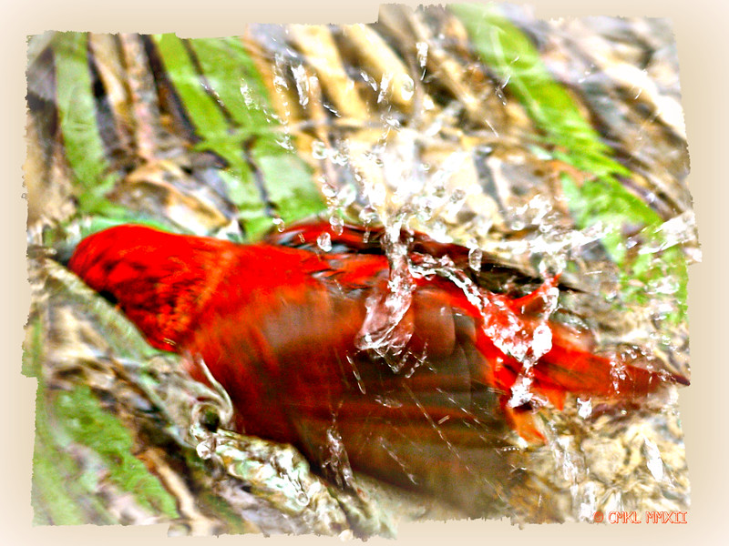 Summer Splash - Summer Tanager<br /> Piranga rubra, Linnaeus 1758