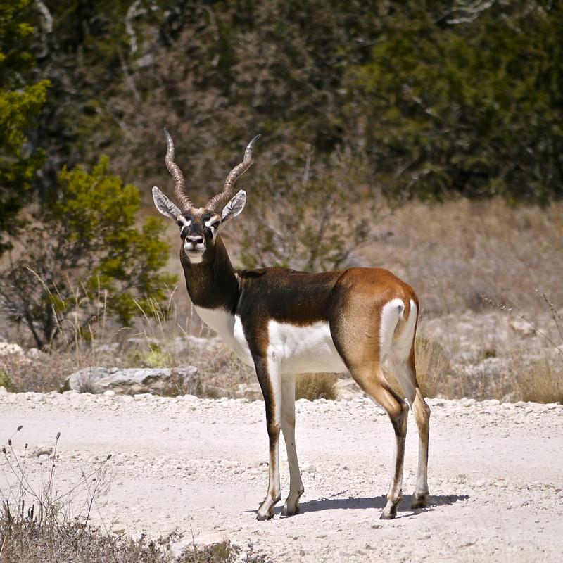 Blackbuck antelope, male (Antilope cervicapra)