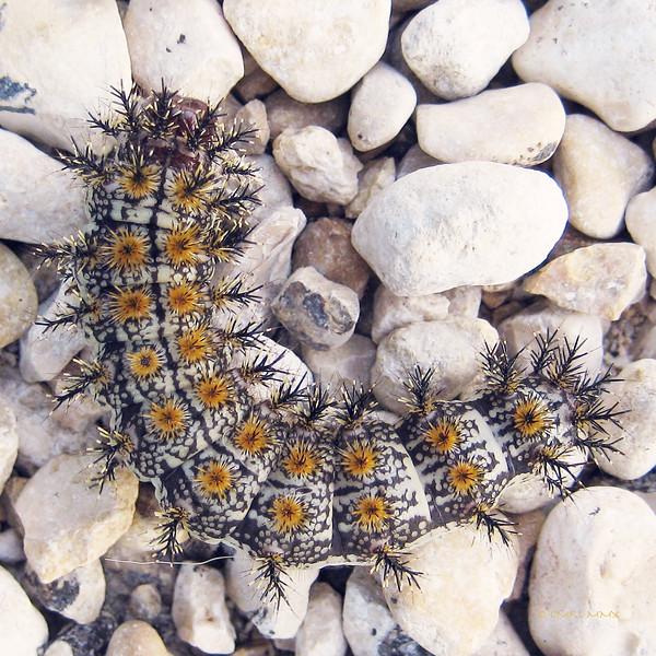 Hemileuca maia, Buck Moth Caterpillar - no touching! Spikes are poisonous