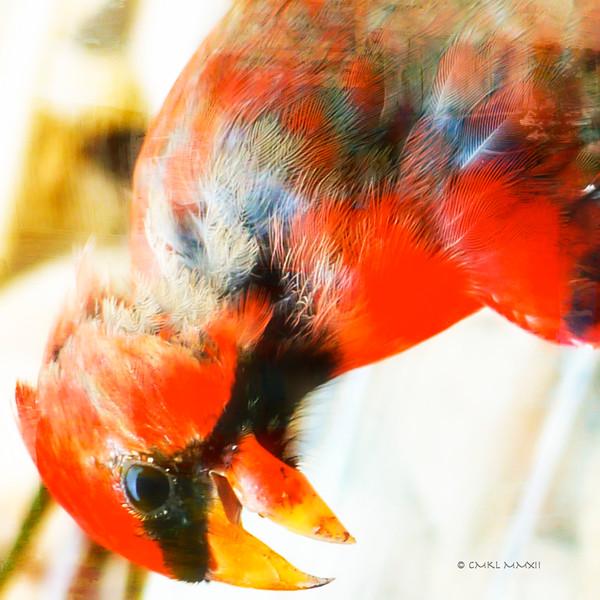 Color Study - red 1<br /> Yes, Ma'am!<br /> Northern Cardinal, male - Cardinalis cardinalis, Linnaeus 1758