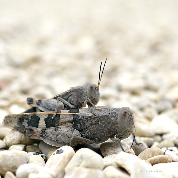 Band-Winged Grasshoppers (Arphia sp.) - she doesn't look thrilled ...