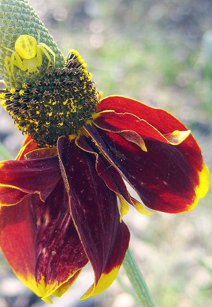 This scary looking spider lady sits on a Mexican hat flower (Ratibida columnifera)